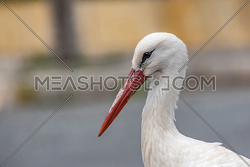 Animal portrait of white stork (Ciconia ciconia) bird outdoors in nature.