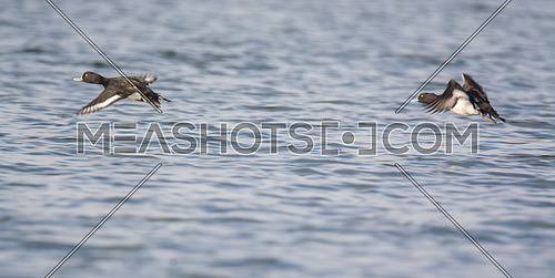 Tufted Duck flying over waters