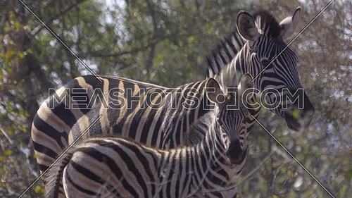 View of foal and mother Zebra looking at camera