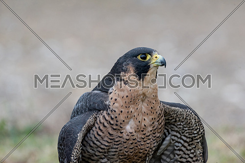 The peregrine falcon . Falco peregrinus, also known as the peregrine, and historically as the duck hawk in North America, is a widespread bird of prey in the family Falconidae