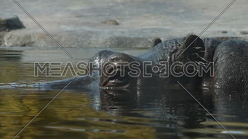 Close up portrait of one hippopotamus swimming in water, extreme close up, low angle view