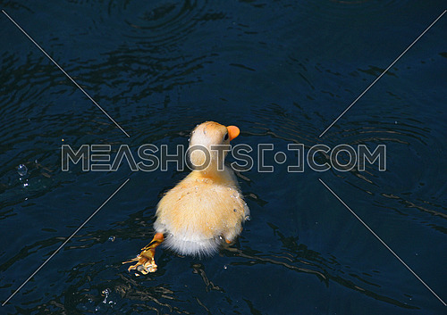 Close up one cute little yellow baby duckling in blue water, high angle rear view