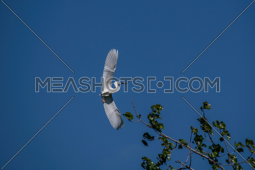 Little egret (Egretta garzetta) flying in forest - bird watching