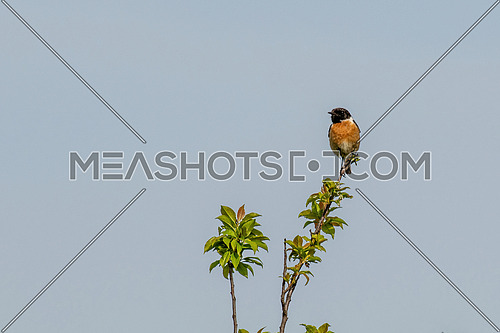 Saxicola torquatus common stonechat perched on a branch