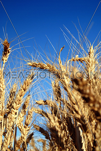 wheat and blue sky   (NIKON D80; 6.7.2007; 1/80 at f/8; ISO 100; white balance: Auto; focal length: 38 mm)