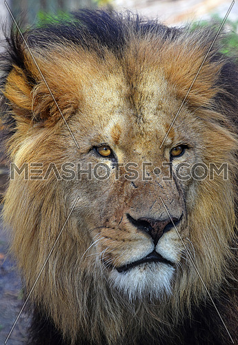 Close up portrait of mature male African lion, looking at camera