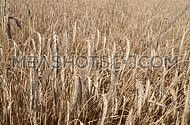 Field of ripe mature wheat full ears spikes shaking trembling in the wind, close up