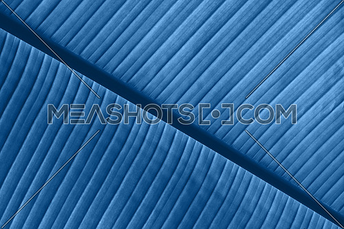 Extreme close up background texture of backlit blue toned palm leaf veins