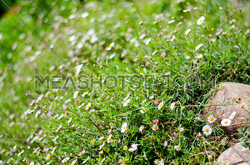 a full view of Daisy flowers in a field with grass and rocks