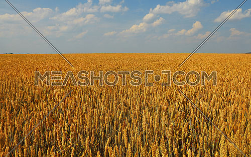 Field of golden ripe wheat or rye ears under clear blue sky, high angle view
