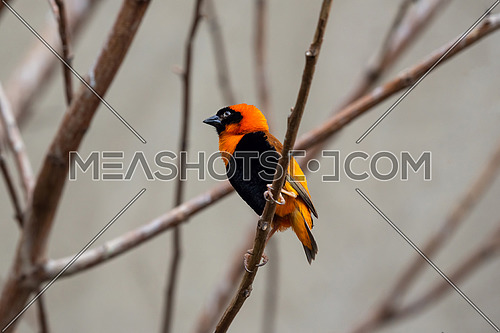 Southern red bishop (Euplectes orix) sitting on a branch
