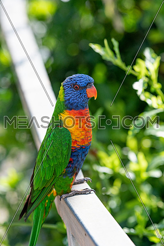 Rainbow lorikeets (Trichoglossus haematodus) are brightly colored, medium-sized parrots that are not considered to be established in the wild in New Zealand