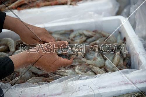 close up of a hand choosing prawns in Fish Market In Dubai