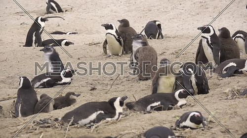 View of a group of penguins with nestling chicks