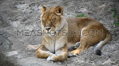 Close up one lioness resting on the ground, high angle view