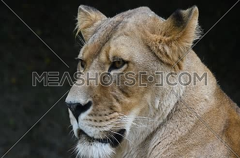 Close up full frame portrait of one beautiful mature African lioness (panther leo) face, lion female looking at camera, side turning her head