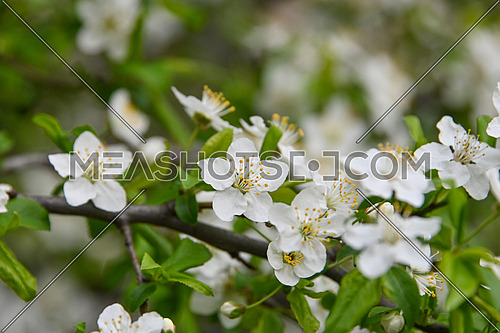 Close up white cherry tree blossom, low angle view