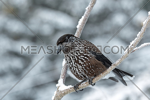 Spotted Nutcracker (Nucifraga caryocatactes) on the perch in winter forest.