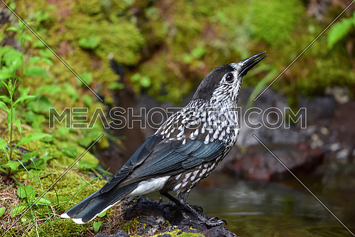 Spotted Nutcracker (Nucifraga caryocatactes) on the perch in forest.