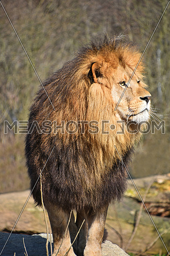 Close up portrait of cute male African lion with beautiful mane, looking away aside of at camera, low angle view