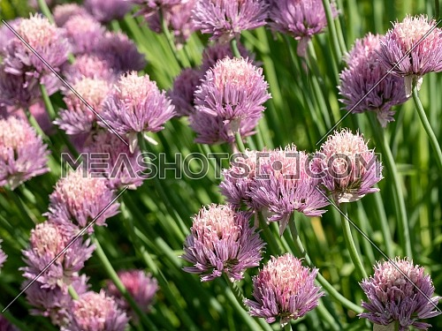 Macro shot of flower in full bloom phase Grass Plant chives (Allium schoenoprasum)