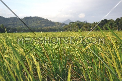 Yellowing rice plants spread wide in the rice fields with a background of mountain scenery