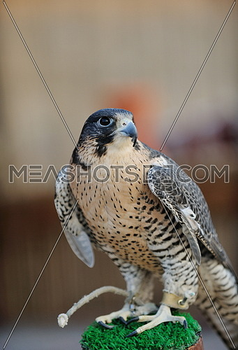 arabic bird falcon predator with sharp vision
