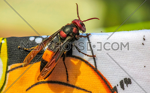a Giant wasp on cloth