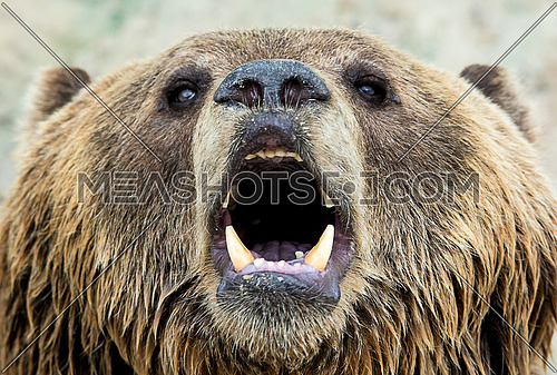 a close up on a  brown bear's face