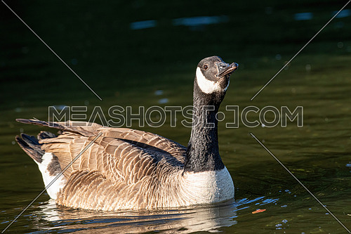 Canada Goose - Branta canadensis bird on water in evening sunlight