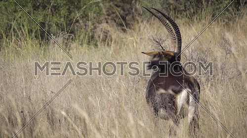 Scene of a sable standing in the bush