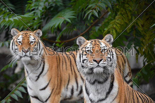 Close up front portrait of two young female Amur (Siberian) tigers looking at camera over green forest background, low angle view