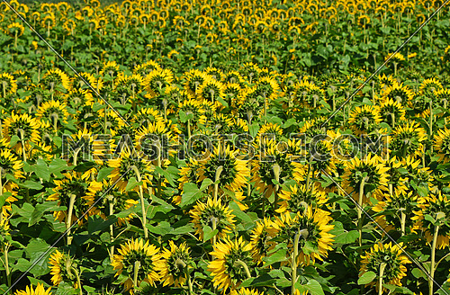 Field of yellow sunflowers growing, rear view, high angle