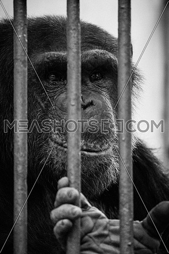 A Sad Monkey smiles behind bars in a zoo black and white