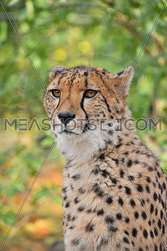 Close up portrait of cheetah (Acinonyx jubatus) looking at camera, low angle view