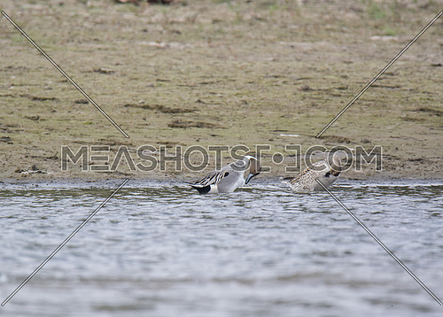 2 Pintail Ducks in the waters near the shore