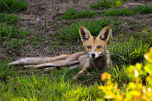 Red Fox in Nuba laying on the grass