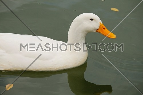Duck swimming in the lake