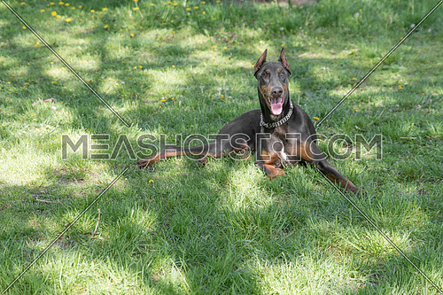 A young beautiful Brown Doberman Pinscher standing on the lawn while sticking its tongue out and looking happy and playful. Dobermann is a breed known for being intelligent alert and loyal companion dogs