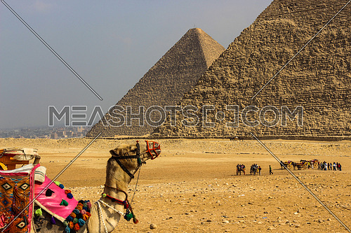 The pyramids of Giza with a camel in the forground