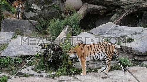 Two young female Amur Siberian tigers play in zoo enclosure, one eating grass another stalking to attack, high angle side view