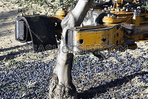 Jaen, Spain - yanuary 2, 2016: Vibrating machine in an olive tree, olive compilation of mechanical form during the winter in January, take in Jaen, Spain