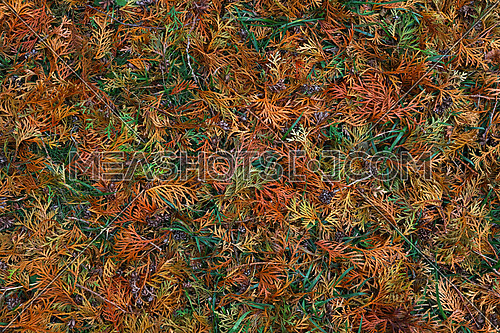 Background of multi colored autumn forest litter of fallen colorful green, yellow and brown arborvitae thuja needle leaves, elevated top view, directly above