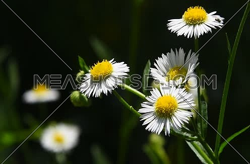 Wild meadow chamomile flowers shaking and trembling in the wind over dark green background of field, close up
