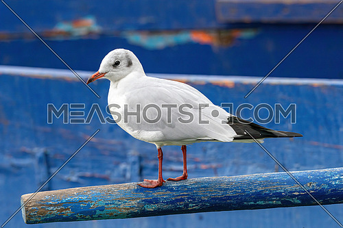Black-headed gull (Chroicocephalus ridibundus)  Wildlife in natural habitat