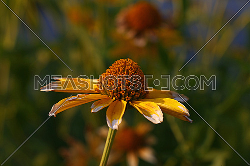 Close up one yellow Echinacea flower in warm sunset light of golden hour, high angle view