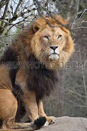 Close up portrait of cute male African lion with beautiful mane, sitting alerted and looking at camera, low angle view