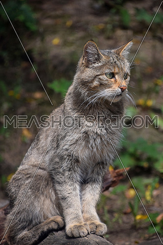 Close up side profile portrait of one European wildcat (Felis silvestris) sitting on tree trunk and looking away alerted, low angle view
