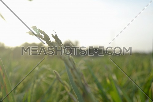 Rice Grains Shape With Green Leaves In The Rice Field When Exposed To Sunlight In Blurred Portrait