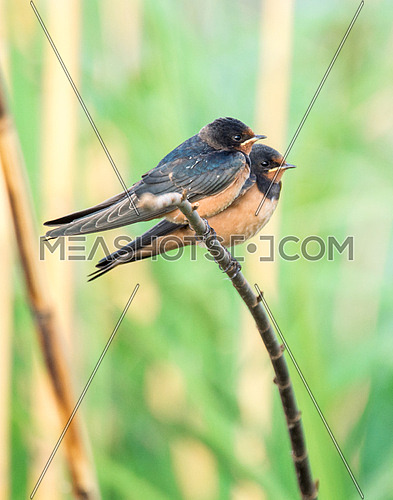 two Barn Swallow birds
